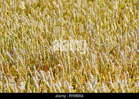 An abstract shot of a field of wheat ripening in the summer sun. - Stock Image