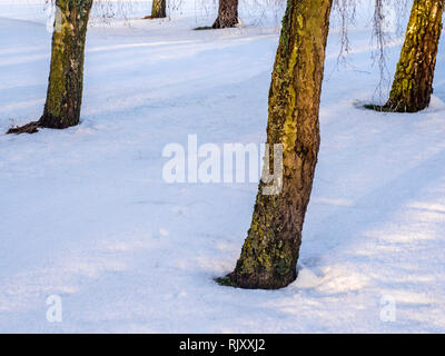 A clump of bare winter trees on snow-covered ground in Wiltshire. - Stock Image