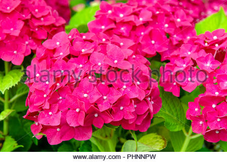 Hydrangea mophead with red flowers, UK. - Stock Image