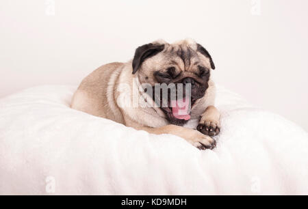 cute pug puppy dog lying down yawning on fuzzy blanket - Stock Image