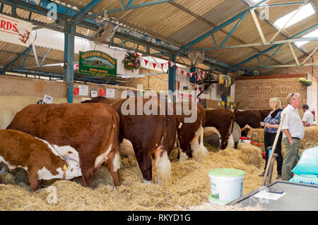 Hereford cattle in cattle shed at the Great Yorkshire Show. - Stock Image