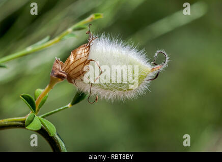 Fruits of Hairy-fruited broom, Cytisus striatus. It is a leguminous shrub native to the Iberian Peninsula and northwestern Africa - Stock Image