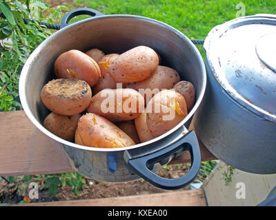 Boiled unpeeled potatoes in kettle close up - Stock Image