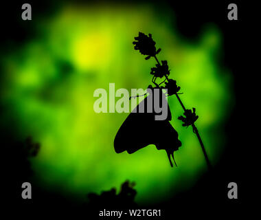 A silhouette of a swallowtail butterfly (papilio rutulus) - side view on a green background - Stock Image