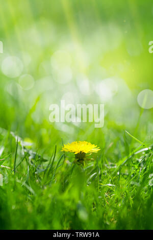 Green grass field with yellow dandelion. Summer nature backdrop with copy space - Stock Image