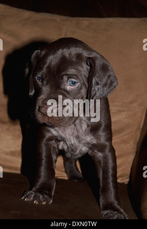German Short-haired Pointer puppies - Stock Image