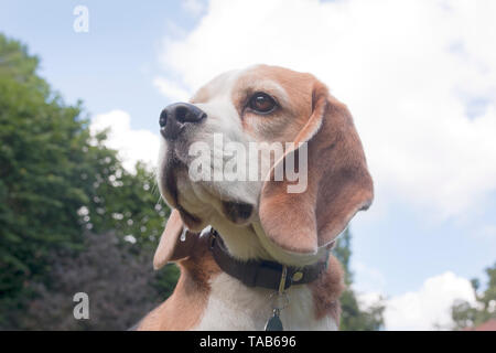 Beagle, young adult outdoors - Stock Image