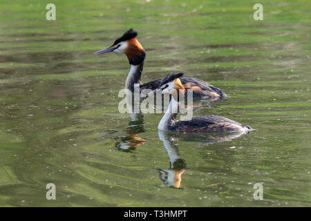 Pair of Great Crested Grebe (Podiceps cristatus) reflection on still lake water - Stock Image