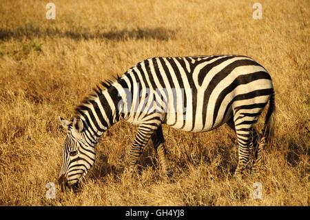 zoology / animals, mammal (mammalia), zebra (Equus quagga), Ngorongoro crater, Ngorongoro Conservation Area, Tanzania, - Stock Image