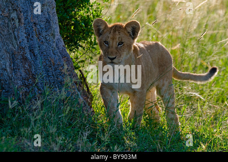 African Lion Cub - Stock Image