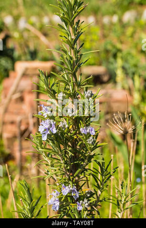 A rosemary bush growing in a vegetable garden in north east Italy. Rosmarinus officinalis is a woody, perennial herb - Stock Image