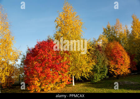 Trees with a red and yellow foliage close-up against a blue sky - Stock Image