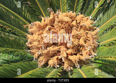 Close Up view of a female Sago Palm (a.k.a. Japanese sago palm, Funeral Palm, King Sago) Cycas revoluta with groups of megasporophylls - Stock Image