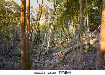 Toppled trees and debris in forest from storm, on hillside above Taisha Shinto shrine, Fukakusa Yabunouchicho, Fushimi Ward, Kyoto, Honshu, Japan - Stock Image