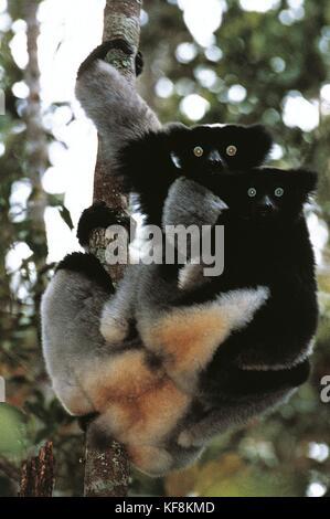 Zoology. Primates. Indri (Indri indri). Madagascar. - Stock Image