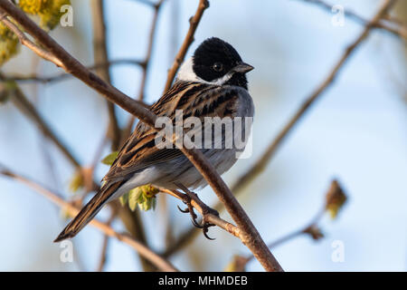male Common Reed Bunting (Emberiza schoeniclus) - Stock Image