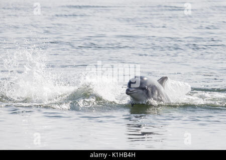 Bottlenose dolphin racing through the waters of the Moray Firth - Stock Image