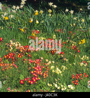 Natural planting of Primroses in a country garden - Stock Image