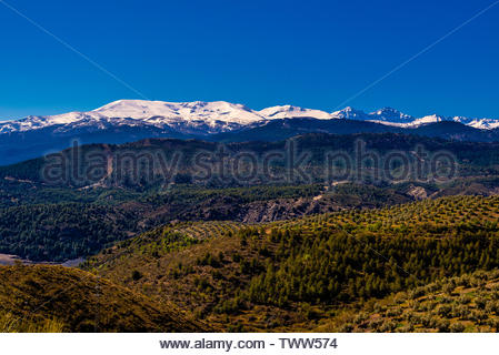 Olive groves on a slope with the snow capped Sierra Nevada Mountains in the background, near Diezma, Granada Province, Andalusia, Spain. - Stock Image