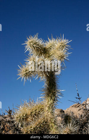 Cholla Cacti In The Ajo Mountains, Organ Pipe Cactus National Monument, Arizona - Stock Image