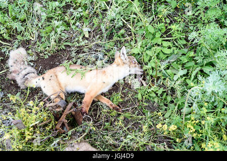 Dead fox caught in a beartrap as part of a pest control cull - Stock Image