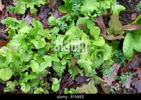 Winter lettuce seedlings growing in a vegetable garden plot in November in rural Wales UK  KATHY DEWITT - Stock Image