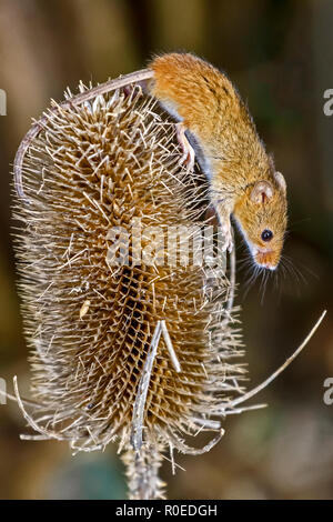 harvest Mouse (Micromys minutus) Berkshire Uk - Stock Image