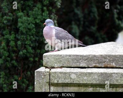 Pigeon on a gravestone - Stock Image