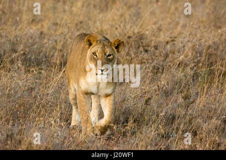One-eyed wild Lioness, Panthera leo, walking towards and looking at camera, Ol Pejeta Conservancy, Kenya, East Africa, - Stock Image