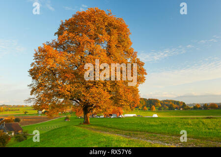 botany, lime, Zuercher Oberland (Zurich highlands), Switzerland, Additional-Rights-Clearance-Info-Not-Available - Stock Image