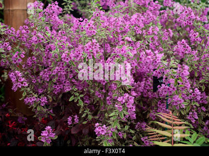 Prostanthera ovalifolia 'Variegata' close up of flowers - Stock Image