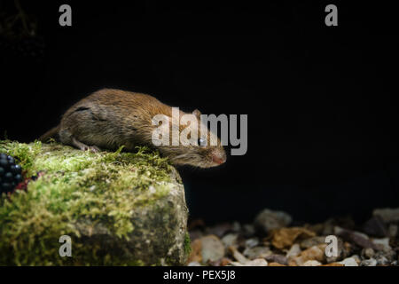 Bank Vole, Myodes glareolus,feeding on blackberries, at the edge of an Oxfordshire woodland, late summer - Stock Image