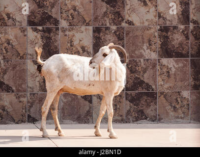 Africa, Namibia, Opuwo. Goat and stone wall in town. Credit as: Wendy Kaveney / Jaynes Gallery / DanitaDelimont.com - Stock Image