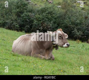 Milk cow in pasture - Stock Image