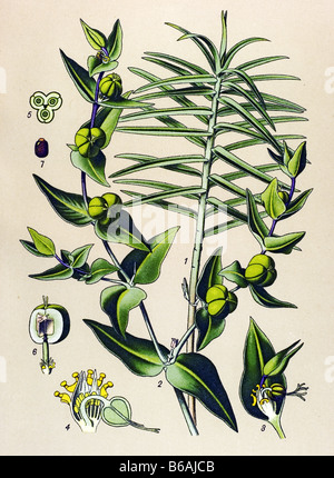 Caper Spurge, Euphorbia lathyris poisonous plants illustrations - Stock Image