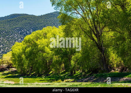 Old Cottonwood Trees (Populus deltoides) in fresh springtime green bloom; Vandaveer Ranch; Salida; Colorado; USA - Stock Image