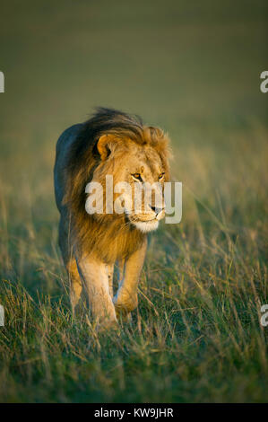 African Lion at Dawn - Stock Image