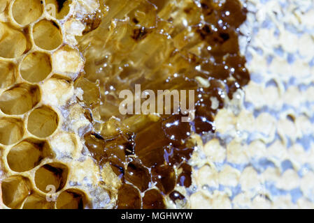 Closeup macro of yellow bee honeycomb in a hexagon pattern with sealed golden sweet honey compartments of the hive interior found wild in nature - Stock Image