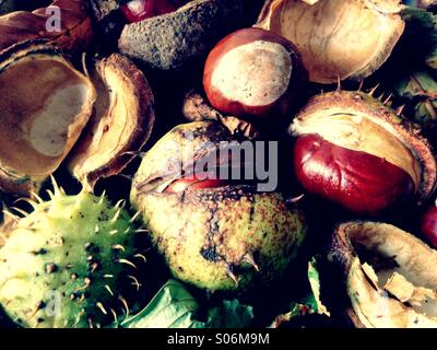 Autumn Conkers - Stock Image