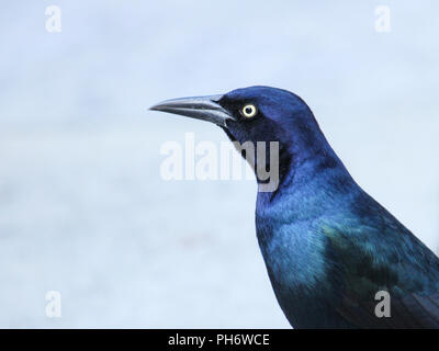 Portrait of a male boat-tailed grackle. - Stock Image