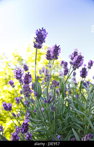 Flowering lavender in front of a tree in the summer morning sun and a blue sky, background, copy space, copyspace - Stock Image