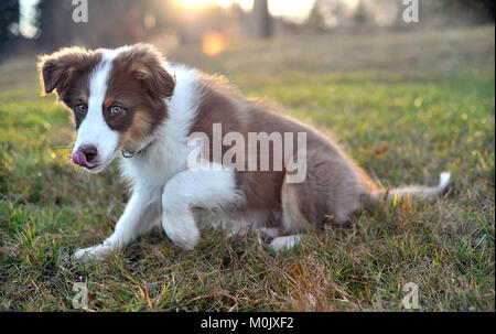 Australian shepherd puppy on meadow in sunset, shallow depth of field - soft focus - Stock Image
