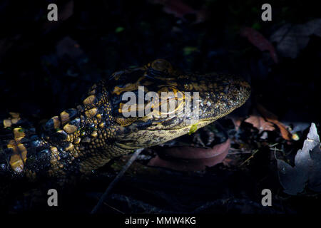 A baby alligator checks out it's surroundings at sunrise in the Florida Everglades. - Stock Image
