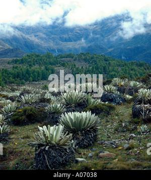 Frailejon Plants in Sierra Nevada Landscape Venezuela - Stock Image