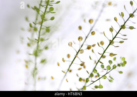 stems of thlaspi still life commonly known as field penny-cress Jane Ann Butler Photography  JABP1874 - Stock Image
