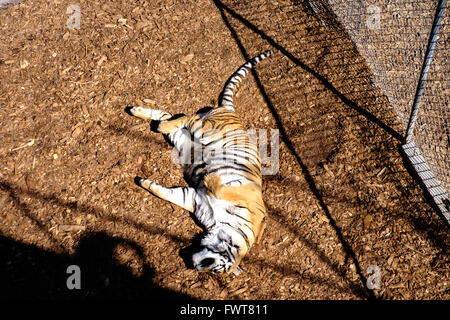 A rescued tiger in captivity lounges in an enclosure while being rehabilitated prior to being introduced to other - Stock Image