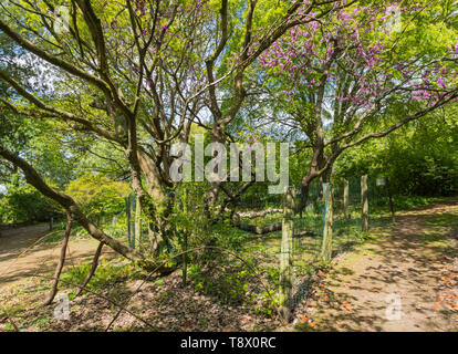 A rare Judas Tree (Cercis siliquastrum) surrounded by a protective fence in Spring at Highdown Gardens, West Sussex, England, UK. - Stock Image