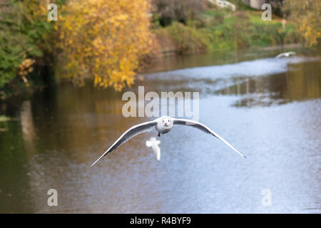 A black headed gull (Chroicocephalus ridibundus) in adult winter plumage in flight against a background of a river and autumn trees - Stock Image