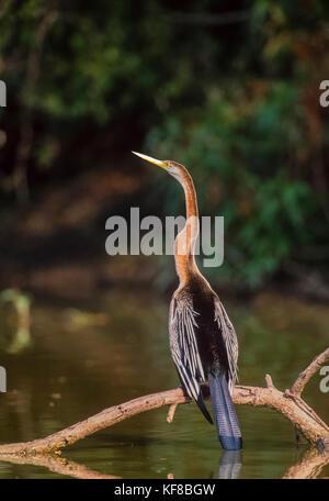 Oriental darter or Indian darter, (Anhinga melanogaster), Keoladeo Ghana National Park, Bharatpur, Rajasthan, India - Stock Image