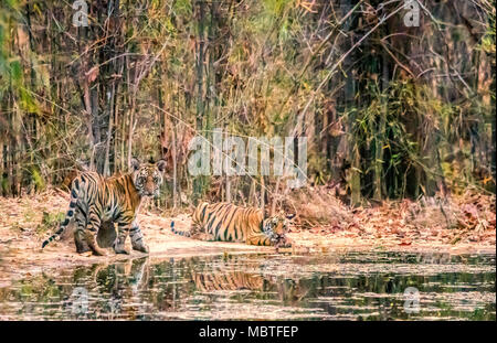 Two cute little wild Bengal Tiger Cubs, Panthera tigris tigris, siblings, by a waterhole in Bandhavgarh Tiger Reserve, Madhya Pradesh, India - Stock Image